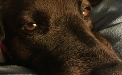 close up of Lab face