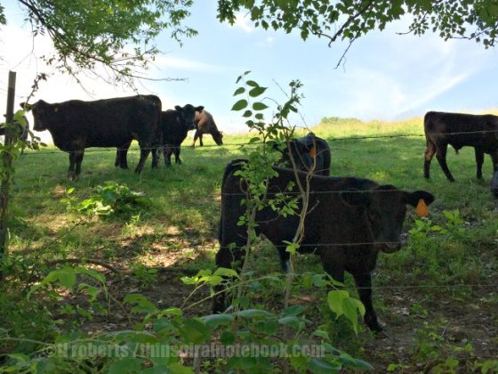 cows behind a barbed wire fence