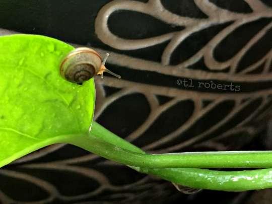 macro snail on rainy leaf