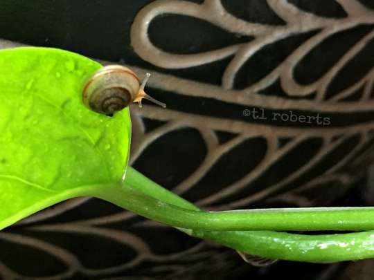 macro snail on rainy leaf