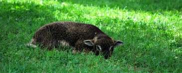 lamb lying in the grass