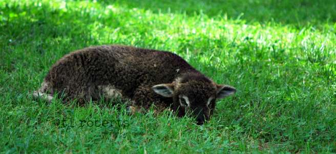 lamb lying in the grass