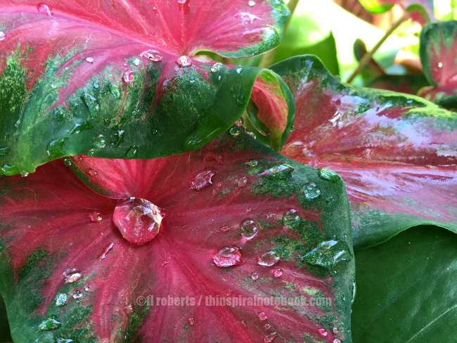 pink caladium leaf with dew drop