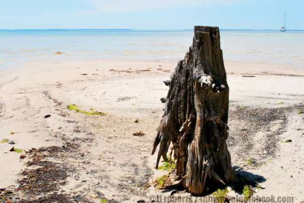 burnt stump on a beach, sailboat in the distance