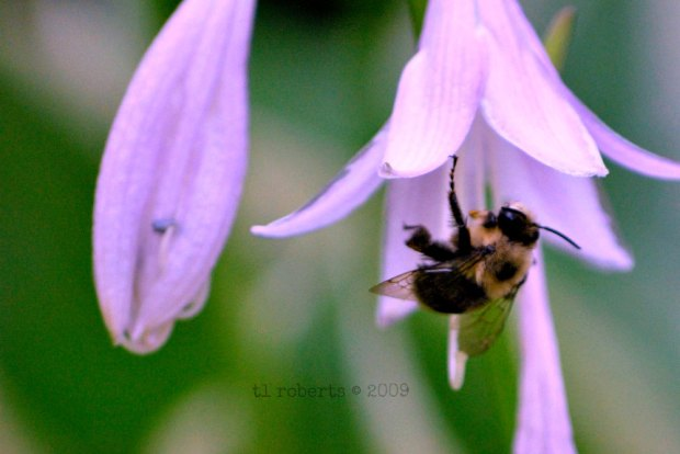 hosta flower and bee