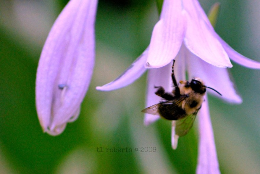 hosta flower and bee