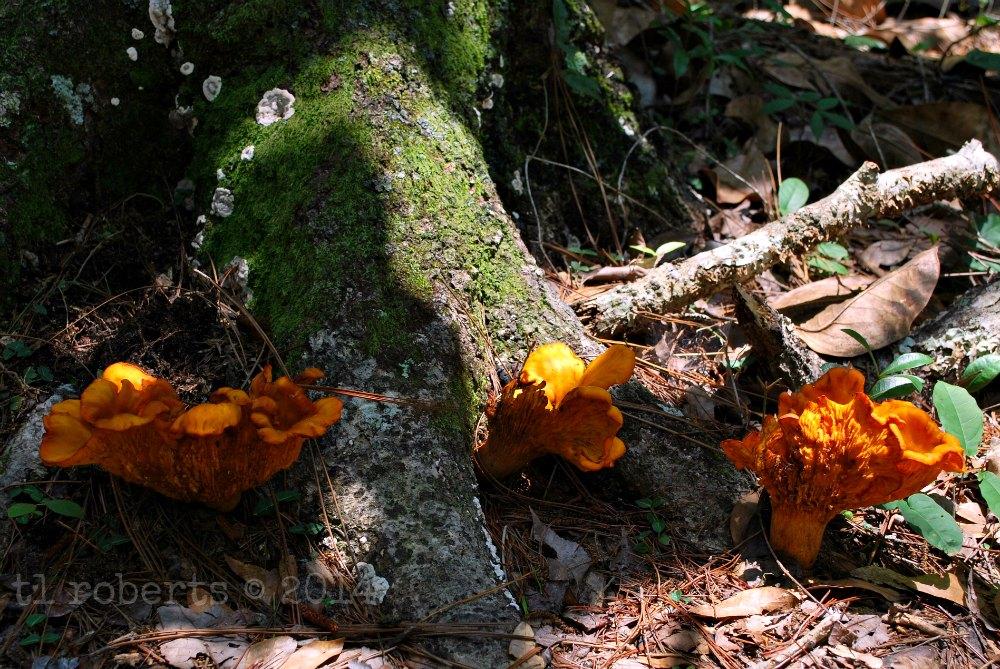 three orange fungi