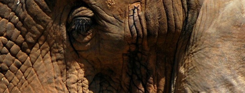 close-up elephant eye
