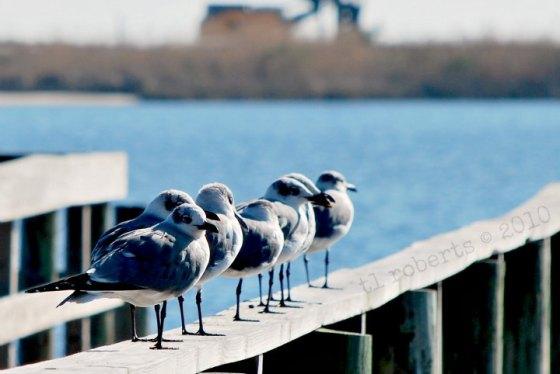 seagulls in a queue