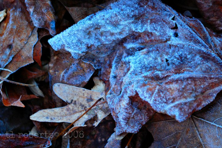 ice crusted leaf