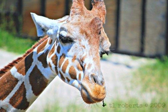 giraffe expression