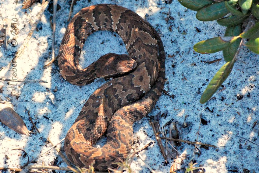 coiled cottonmouth