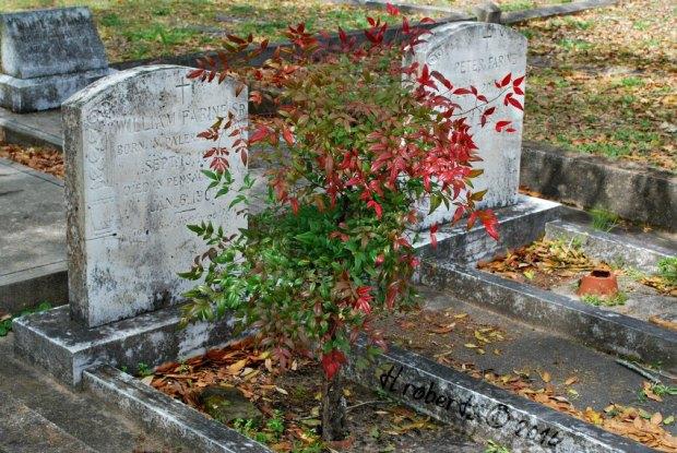 tree growing in grave plot