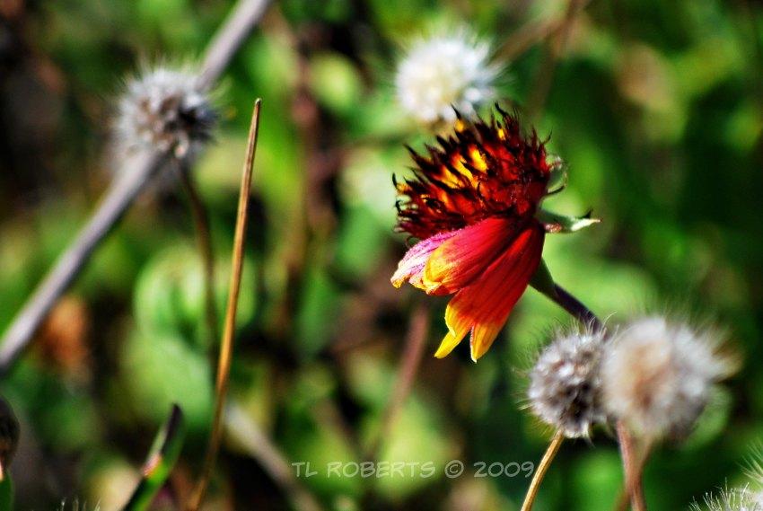 flaming flower