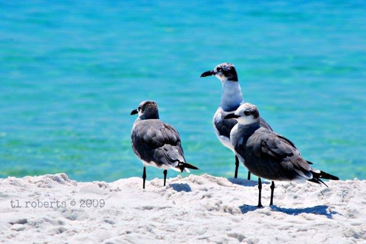 seagull trio