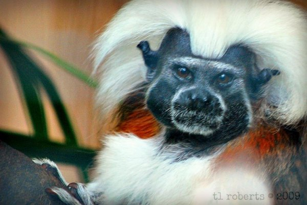 close-up of a cotton top tamarin monkey