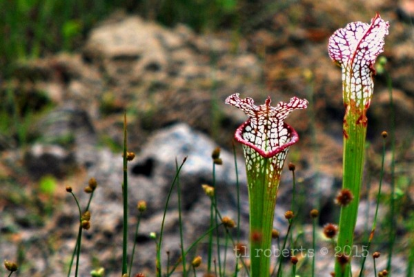 crimson pitcher plants