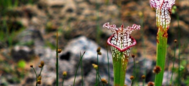 crimson pitcher plants