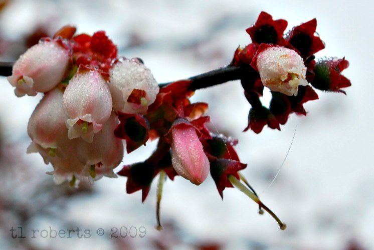 pink blueberry blossoms covered in dew