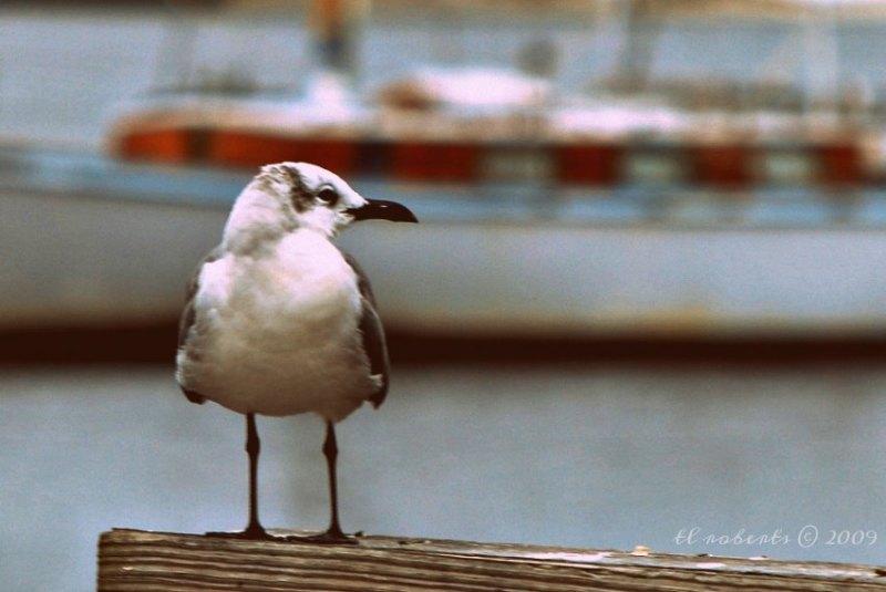 seagull at marina