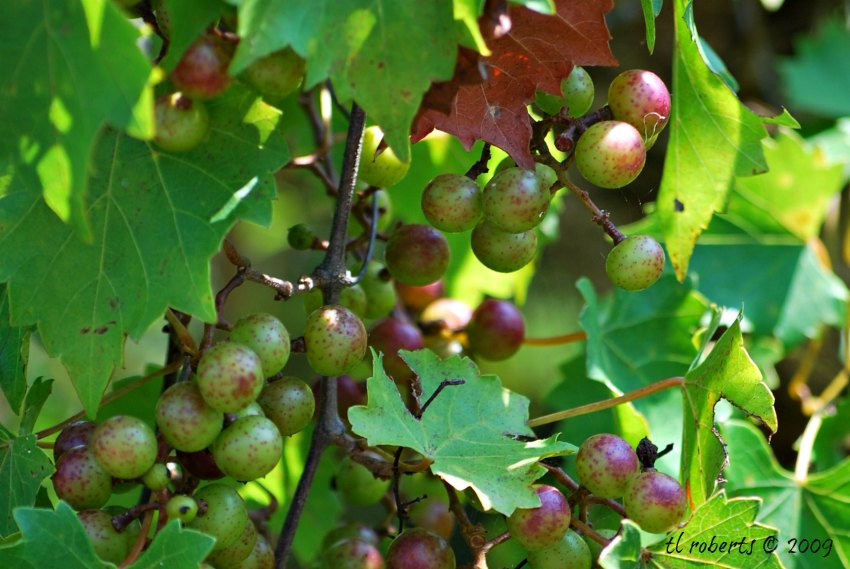 wild muscadine grapes
