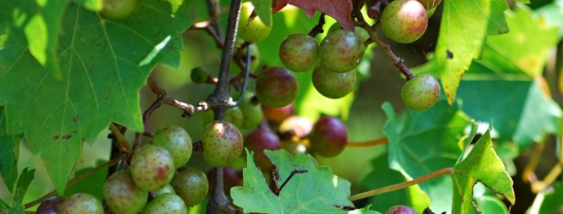 wild muscadine grapes