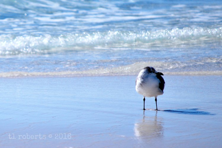 seagull wading along the shore