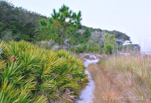 sandy path through sago palms