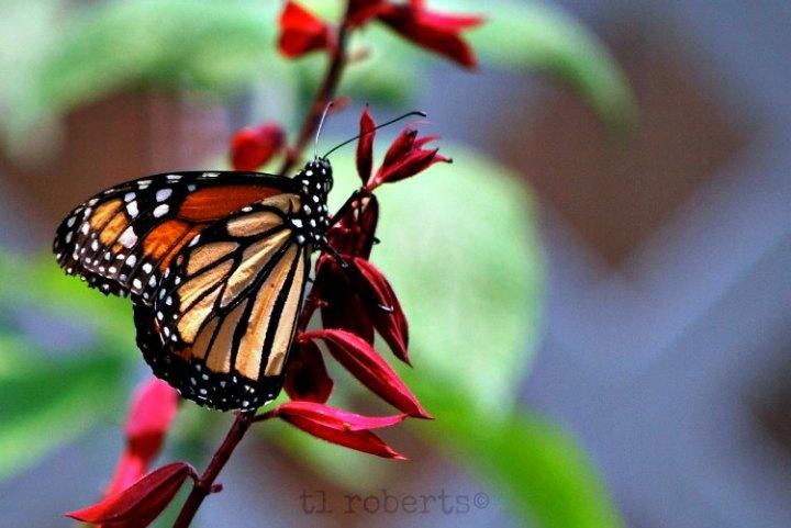 Grampa butterfly