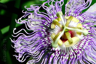 passionflower17