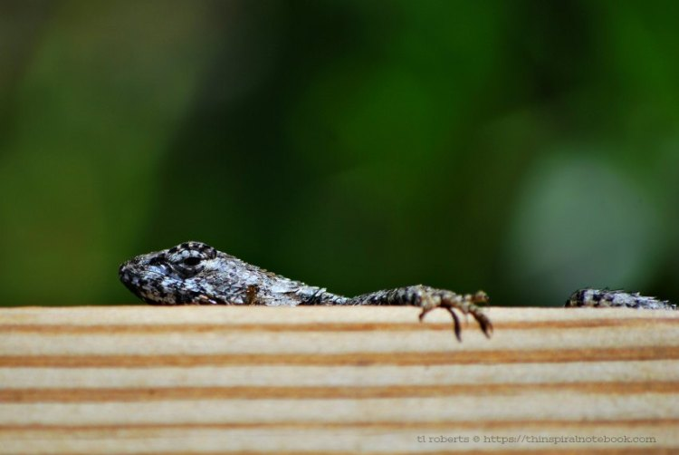 gecko18